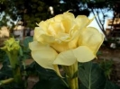 DATURA - DOUBLE YELLOW