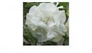 DATURA - DOUBLE WHITE