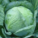 CABBAGE - GOLD ACRE