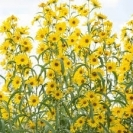 SUNFLOWER - Maximilian