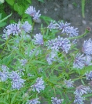 BLUE WOODRUFF