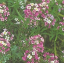 SWEET ALYSSUM �Violet Queen �